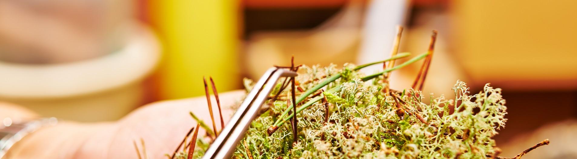 Mosser er altid fyldt med sjove ting, så det er en smagssag om de skal med eller ej. Denne mos kaldes renlav, og er hovednæring for rener i Norden.